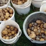 Lebendiges Gesundheitsprogramm: Kartoffelernte 2014